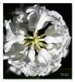 hyacint close-up