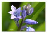 boshyacint  blue bells
