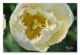 tulip - tulp