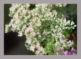 Sedum alboroseum