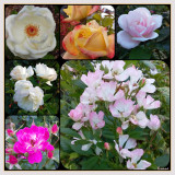 Six Roses in Summer