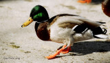 Canard colvert / Mallard