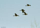 Bernaches du Canada / Cackling goose