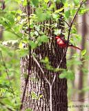 Cardinal rouge/Northern Cardinal