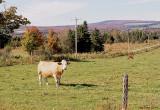 Bonjour Mme la vache