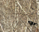 Carouge à épaulettes/Red-winged Blackbird