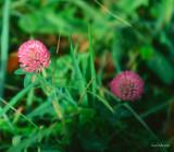 Fleur_champ_Varennes.jpg
