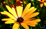 Fleur_jaune.jpg