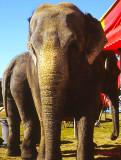Les_éléphants_du_cirque_aux_Galleries_dAnjou.jpg