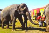 Les_éléphants_du_cirque_2.jpg