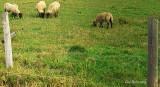 Les_moutons.jpg