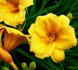 Des_lys_jaunes.jpg