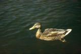 Canard Sauvages (canard colvert femelle)