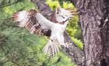 Hawk_1.JPG