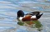 Northern Shoveler Duck (Male) - Collingwood Harbour (April 2019) B