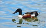 Northern Shoveler Duck (Male) - Collingwood Harbour (April 2019) C