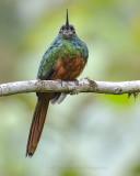 JACAMARS AND PUFFBIRDS