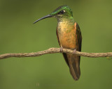 FAWN-BREASTED BRILLIANT