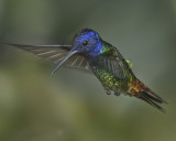 GOLDER-TAILED SAPPHIRE