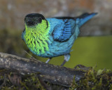 BLACK-CAPPED TANAGER ♂