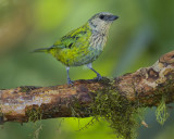BLACK-CAPPED TANAGER ♀