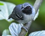 BLACK-FACED ANTBIRD ♂