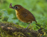 YELLOW-BREASTED ANTPITTA (In the wild, not called and hand-fed)