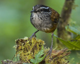 GRAY-BREASTED WOOD-WREN (Andean)