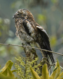 ANDEAN POTOO