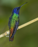 GOLDEN-TAILED SAPPHIRE