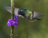 VIOLET-HEADED HUMMINGBIRD