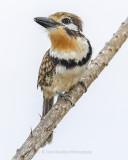 RUSSET-THROATED PUFFBIRD
