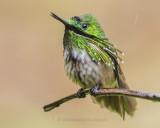 SWIFTS, HUMMINGBIRDS