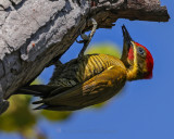 WOODPECKERS, BARBETS AND TOUCANS