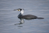 Chinese Cormorant - Phalacrocorax carbo sinensis