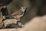 Ccrested tit (Lophophanes cristatus)