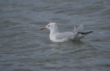Slender-billed gull - Chroicocephalus geneii