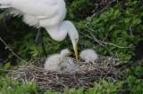 Great Egret - Ardea alba egreta