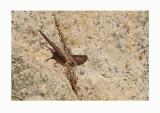 Eurasian Crag Martin  - (Ptyonoprogne rupestris)