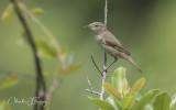 Blyth's reed warbler (Acrocephalus dumetorum)