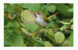 Common Tailorbird - Orthotomus sutorius
