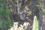 Ecuadorian Great-Horned Owl Bubo virginianus nigrescens