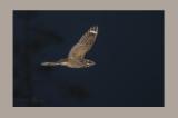 (Nightjar - Caprimulgus europaeus