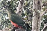 Australian king parrot - Alisterus scapularis