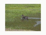 Andean Teal - Anas andium