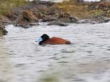 Andean Duck - Oxyura ferruginea