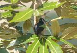 Black Flowerpiercer - Diglossa humeralis