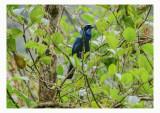 Turquoise Jay - Cyanolyca turcosa