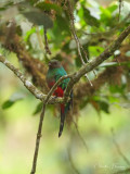 Golden Headed Quetzal - Pharomachrus auriceps