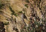 Ash-breasted Sierra Finch - Phrygilus alaudinus